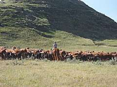 Ryan always claims that he moves ALL the cattle by himself!!