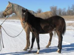 2014 Foal Whiskey Up Bandit JW