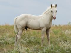 Big Bird Drift JW <BR>AQHA 5690551