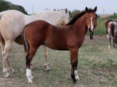 Whiskey Up Brazil JW <BR>AQHA 5882388