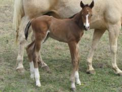 Whiskey Up Brazil JW <BR>AQHA Pending