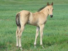 Paddys Gin Chile JW <BR>AQHA Pending