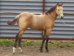 Whiskey Up Chloe JW<br>AQHA 5608178