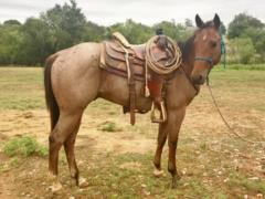 Whiskey Up Cowboy JW<br>AQHA 5661456