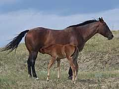 Fancy Roan Belle<br>AQHA 3426496