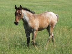 Whiskey Up France JW <BR> AQHA Pending