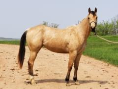 Two Tylet Honey Bee <BR> AQHA 5842821