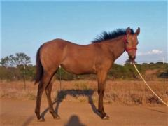 Ms Boon Jess <BR> AQHA 5976239