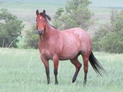 Miss Sweet Baron <BR> AQHA 5495780
