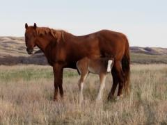 Bullets Top Lady <BR> AQHA 5317297