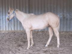 Lily King Drift JW<br>AQHA 5635076