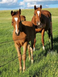 Whiskey Up Peru JW <BR> AQHA X0733025