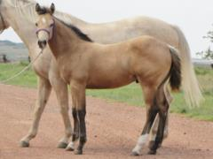Whiskey Up Rebel JW<BR>AQHA 5731986
