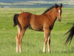 Paddys Gin Spain JW <BR>AQHA Pending