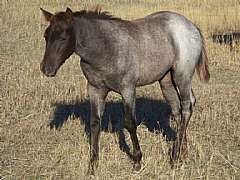 Pictured as a weanling